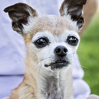 Chihuahua Mix Dog for adoption in San Diego, California - Archie