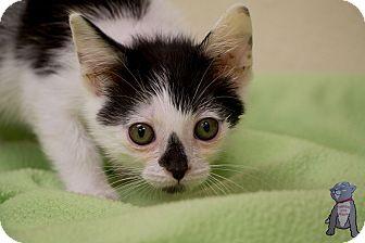 Domestic Shorthair Kitten for adoption in Fountain Hills, Arizona - Hartley