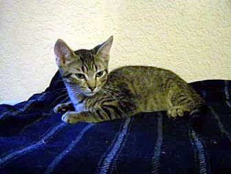 Domestic Shorthair/Domestic Shorthair Mix Kitten for adoption in Bulverde, Texas - Ray