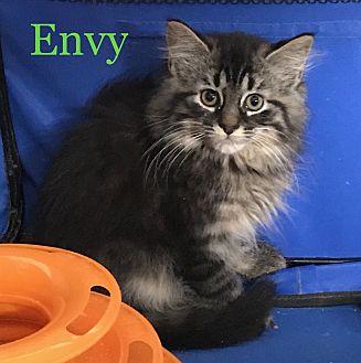Domestic Mediumhair Kitten for adoption in Greensburg, Pennsylvania - Envy