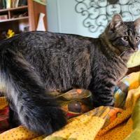Adopt A Pet :: Cheetara - Bastrop, TX