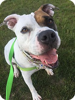 Boxer/American Pit Bull Terrier Mix Dog for adoption in Pittsburgh, Pennsylvania - Patches