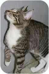 Domestic Shorthair Kitten for adoption in Marietta, Georgia - Eden