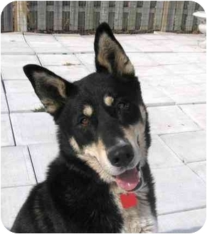 German Shepherd Dog/Husky Mix Dog for adoption in Ile-Perrot, Quebec - MAX