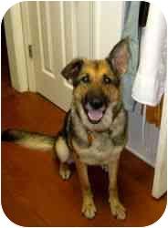 German Shepherd Dog Dog for adoption in Rochester/Buffalo, New York - Hannah