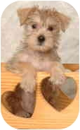 Terrier (Unknown Type, Small) Mix Puppy for adoption in Deer Park, Texas - Curly