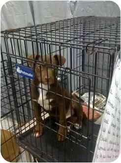 Labrador Retriever Mix Puppy for adoption in Crosby, Texas - Pablo