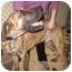 Photo 1 - Great Dane Dog for adoption in Lewiston, Maine - Moe