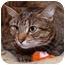 Photo 2 - Domestic Shorthair Cat for adoption in Brooklyn, New York - Musya