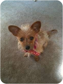 Terrier (Unknown Type, Small) Mix Dog for adoption in Arlington, Texas - Lucy
