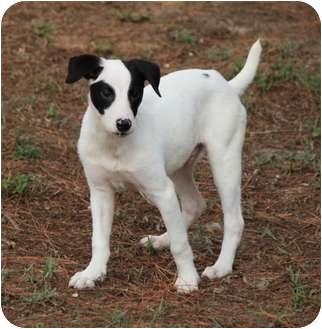 Fox Terrier (Smooth) Mix Puppy for adoption in Largo, Florida - Bishop