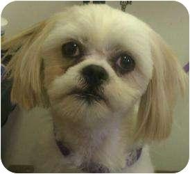 Shih Tzu Dog for adoption in Phoenix, Arizona - Mr Darcy