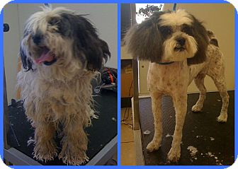 Tibetan Terrier Mix Dog for adoption in Scottsdale, Arizona - Takari