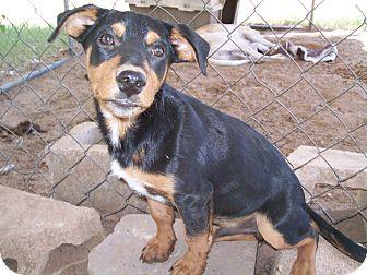 Australian Kelpie/Dachshund Mix Puppy for adoption in Ranger, Texas - Rascal