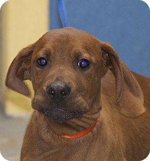 Redbone Coonhound Mix Puppy for adoption in Eighty Four, Pennsylvania - Keegan