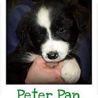 Adopt A Pet :: PETER PAN - Southport, NC