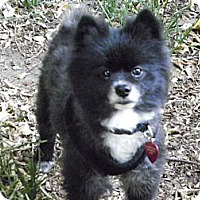 Adopt A Pet :: STERLING - Hesperus, CO