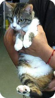 Domestic Shorthair Kitten for adoption in Westminster, California - Juliet