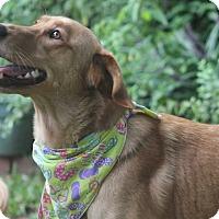 Adopt A Pet :: Ginger - Yorktown, VA
