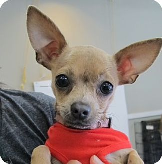 Chihuahua Mix Puppy for adoption in Covington, Washington - Elle-adopted!
