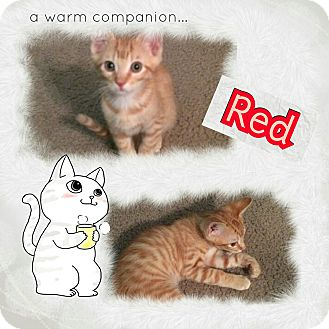 Domestic Shorthair Cat for adoption in North Richland Hills, Texas - Red