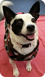Jack Russell Terrier Mix Dog for adoption in Battle Creek, Michigan - Flower