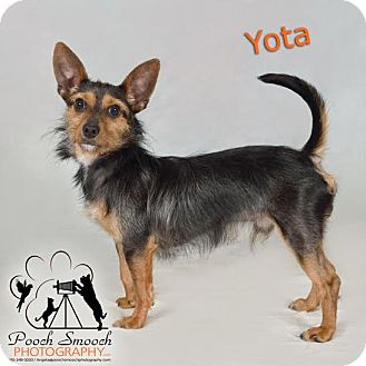 Yorkie, Yorkshire Terrier/Chihuahua Mix Dog for adoption in Broadway, New Jersey - Yota
