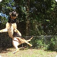 Adopt A Pet :: Blaze - Green Cove Springs, FL