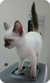 Siamese Kitten for adoption in Concord, North Carolina - Cleopatra