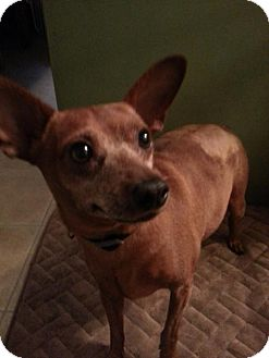 Chihuahua Mix Dog for adoption in Point Pleasant, Pennsylvania - SHORTY-