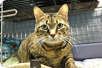Domestic Shorthair Cat for adoption in New Richmond,, Wisconsin - Itty Bitty