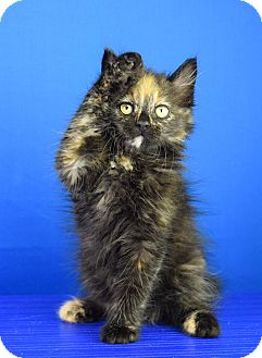 Domestic Longhair Kitten for adoption in Carencro, Louisiana - Sophia