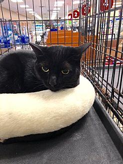Domestic Shorthair Cat for adoption in Alpharetta, Georgia - Sissy (CL)