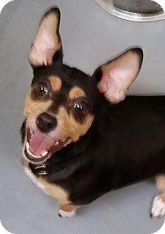 Chihuahua Mix Dog for adoption in Adrian, Michigan - Juliet