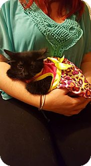 Domestic Shorthair Kitten for adoption in Irwin, Pennsylvania - Leena