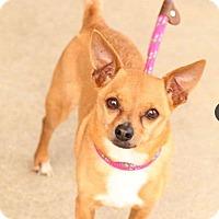 Adopt A Pet :: Nacho-Adoption Pending - Fredericksburg, VA