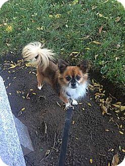 Papillon/Chihuahua Mix Dog for adoption in Lowell, Massachusetts - Cornelius