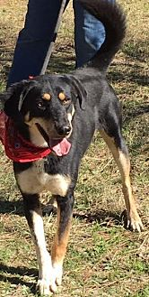 Greater Swiss Mountain Dog/Hound (Unknown Type) Mix Dog for adoption in Jefferson, Texas - Woody
