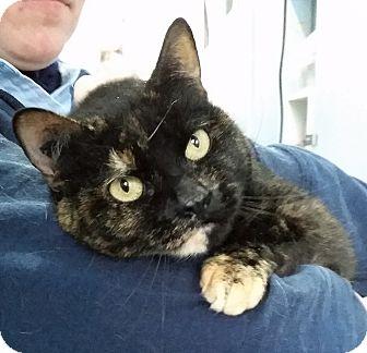 Domestic Shorthair Cat for adoption in Port Coquitlam, British Columbia - Madelaine