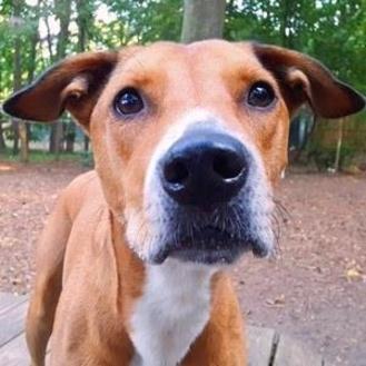 Labrador Retriever Mix Dog for adoption in Decatur, Georgia - BUTTER