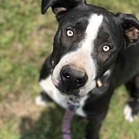 Adopt A Pet :: Oliver - Morganton, NC