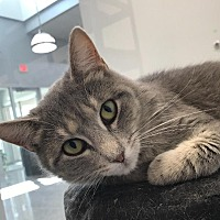 Domestic Shorthair Cat for adoption in Angola, Indiana - Sally
