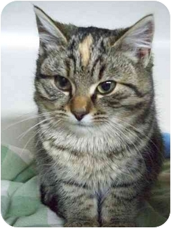 Domestic Shorthair Kitten for adoption in Cold Lake, Alberta - Ivy