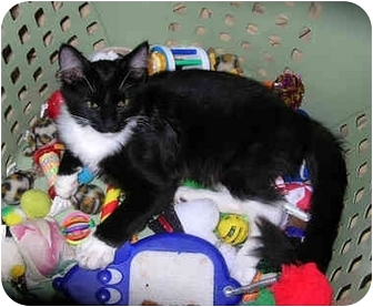 Domestic Shorthair Kitten for adoption in Palmdale, California - Crackers