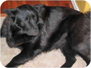 Chow Chow/Labrador Retriever Mix Dog for adoption in Scottsdale, Arizona - Sally