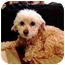 Photo 2 - Poodle (Toy or Tea Cup) Dog for adoption in Melbourne, Florida - AUGIE
