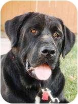 Labrador Retriever Mix Dog for adoption in Torrance, California - Alana