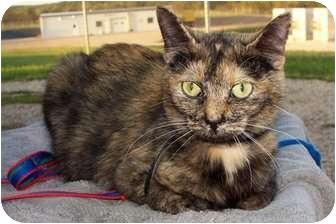 Domestic Shorthair Cat for adoption in Sullivan, Missouri - Melly
