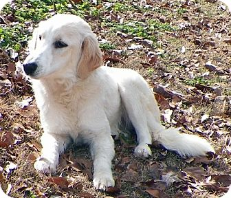 Golden Retriever Mix Dog for adoption in New Canaan, Connecticut - Kate