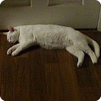 Adopt A Pet :: Mr. White - Monrovia, CA